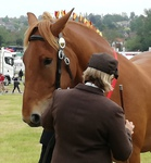 Judge inspects chestnut horses flank at the Hadleigh Show