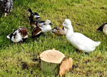Ducks and other fowl in the petting zoo